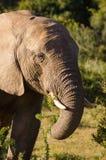 Elefante che mangia le foglie, proboscide della zanna dell'elefante Gli elefanti di Addo parcheggiano, photoghraphy della fauna s fotografie stock