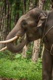 Elefante che mangia nella giungla. La Tailandia, Sud-est asiatico. Wildli Immagini Stock Libere da Diritti