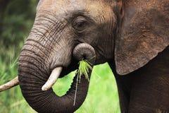Elefante che mangia primo piano Fotografia Stock
