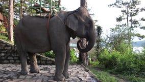 Elefante che ondeggia con il tronco, le orecchie e la coda archivi video