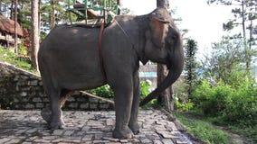 Elefante che ondeggia con il tronco, le orecchie e la coda stock footage