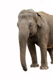 Elefante che osserva alla destra Immagine Stock