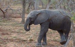 Elefante che riposa in una posizione divertente nella savanna Immagini Stock Libere da Diritti