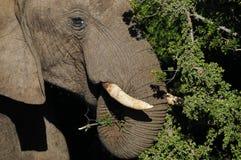 Elefante che si alimenta vicino su Immagini Stock