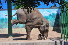 Elefante che si leva in piedi sulla testa Fotografia Stock
