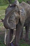 Elefante che si raffredda fuori nel lago Manyara, Tanzania Immagini Stock Libere da Diritti
