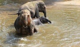 Elefante che spruzza con acqua Fotografie Stock Libere da Diritti