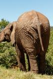 Elefante che sta e che mangia sui rami Fotografia Stock