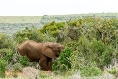 Elefante che sta e che nasconde il suo tronco Immagine Stock