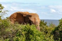 Elefante che sta e che si nasconde fra i cespugli Fotografie Stock Libere da Diritti
