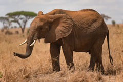 Elefante che va bere al mezzogiorno nel parco nazionale di Tarangire Immagine Stock