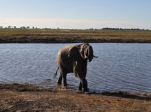 Elefante in Chobe Fotografie Stock
