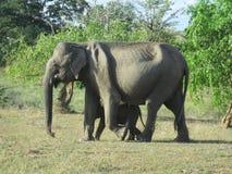 Elefante cingalês com criança fotografia de stock