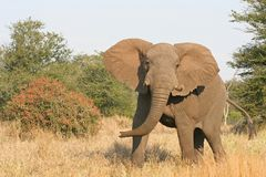 Elefante cobrando Fotografia de Stock Royalty Free