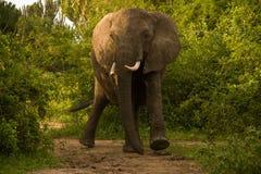 Elefante cobrando em Uganda Fotos de Stock