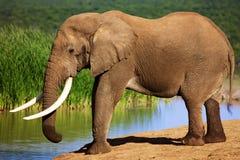 Elefante com as grandes presas no waterhole Imagem de Stock