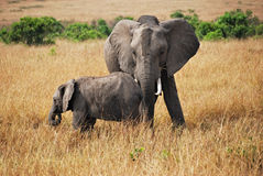 Elefante com bebê Foto de Stock