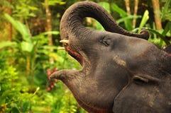 Elefante com boca aberta Imagens de Stock Royalty Free
