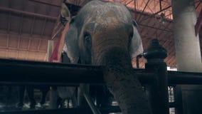 Elefante com a cobertura vermelha e amarela em suportes traseiros pela cerca video estoque