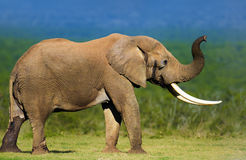 Elefante com grandes presas Fotos de Stock Royalty Free