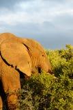 Elefante com sua cabeça nos arbustos Fotografia de Stock Royalty Free