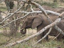 Elefante comiendo entre las ramas 免版税库存照片