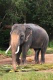Elefante con deseo sexual Fotografía de archivo libre de regalías