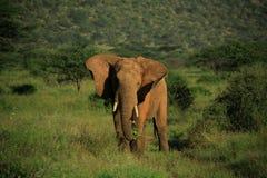 Elefante con el aleteo de los oídos Imágenes de archivo libres de regalías