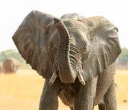 Elefante con el aleteo de los oídos y tronco para arriba en el aire imagen de archivo