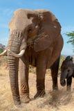 Elefante con el bebé en Kenia en safari fotografía de archivo libre de regalías