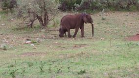 Elefante con el bebé o becerro en sabana en África metrajes