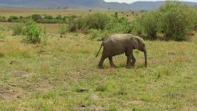 Elefante con el bebé o becerro en sabana en África almacen de video