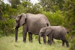 Elefante con el elefante del bebé Imágenes de archivo libres de regalías