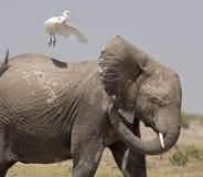 elefante con el pájaro Foto de archivo libre de regalías