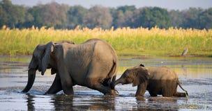Elefante con il bambino che attraversa il fiume lo Zambesi zambia Abbassi il parco nazionale dello Zambesi Il fiume Zambezi immagini stock