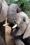 Elefante con la boca abierta Foto de archivo libre de regalías