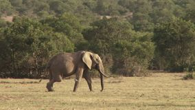 Elefante con la pierna herida en Kenia almacen de video