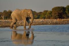 Elefante con la reflexión, agua potable en el parque nacional de Etosha, Namibia Foto de archivo libre de regalías