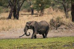 Elefante con le difese lunghe circa per registrare l'acqua nella Cesalpina fotografia stock