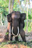 Elefante con le zanne fotografie stock libere da diritti