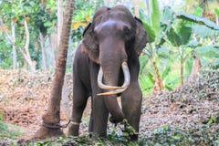 Elefante con le zanne fotografia stock