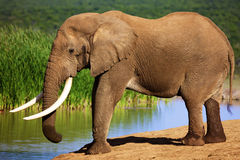Elefante con los colmillos grandes en el waterhole Imagen de archivo