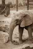 Elefante con los pavos reales en el fondo en el parque zoológico Fotos de archivo libres de regalías