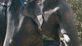 Elefante con un asiento en el primer trasero metrajes