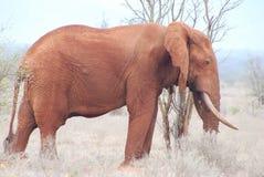 Elefante cor-de-rosa Fotografia de Stock Royalty Free
