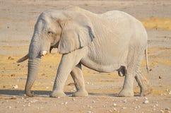 Elefante cubierto en el fango blanco Imágenes de archivo libres de regalías