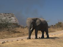 Elefante curioso Fotos de archivo