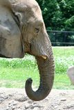 Elefante d'alimentazione Immagine Stock Libera da Diritti
