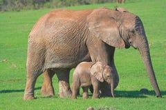 Elefante da matriz & do bebê Fotografia de Stock