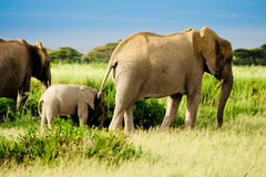 Elefante dall'Africa Fotografia Stock